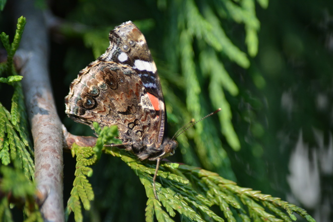 Side view of Red Admiral Butterfly! St. Catharines, ON