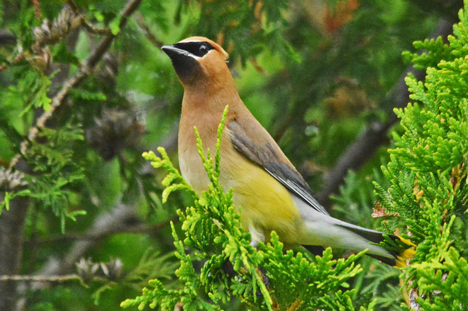 Cedar Waxwing Kitchener, ON