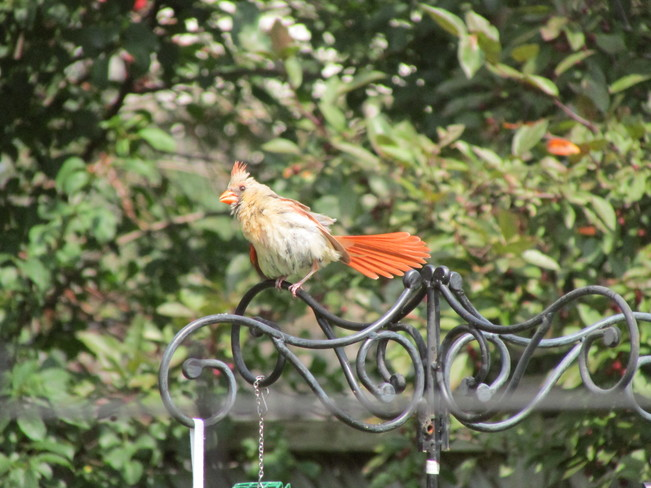 the mrs. cardinal Fergus, ON