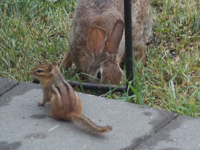 chipmunk and rabbit London, ON