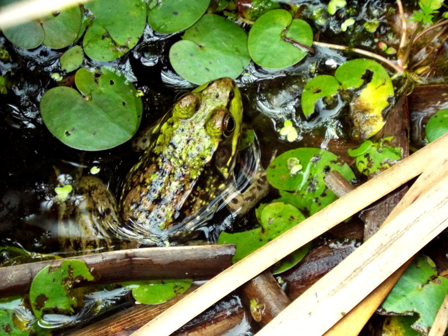 Green Frog Point Pelee National Park, Leamington, ON