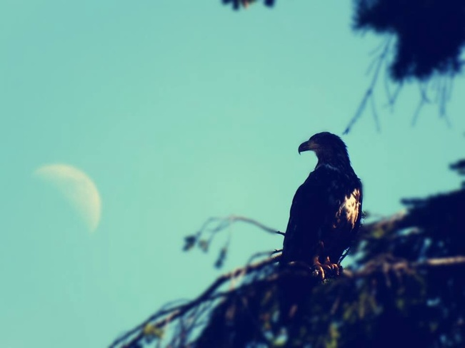 young eagle with moon Campbell River, British Columbia Canada