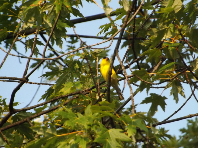 warbler singing Thunder Bay, ON