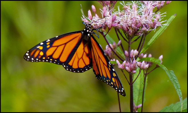 Monarch butterfly, Elliot Lake.