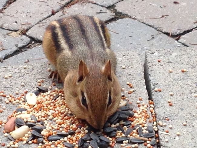 chipmunk eating London, Ontario Canada