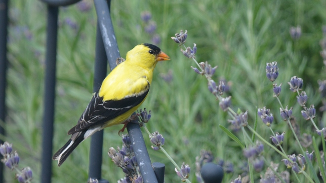 American Goldfinch feeding on Lavender seeds! St. Catharines, ON