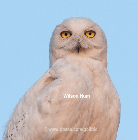 Snowy Owl in August (adult male) Ottawa, ON