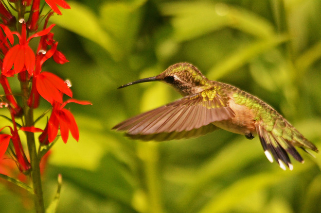 Hummers at the Arboretum in Guelph Guelph, ON