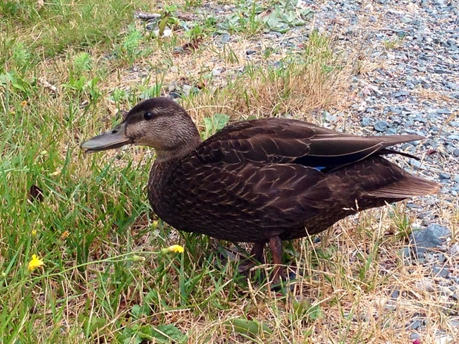 ducks! Conception Bay South, Newfoundland and Labrador Canada
