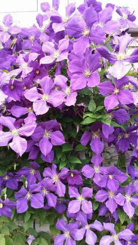 Clematis Thunder Bay, ON