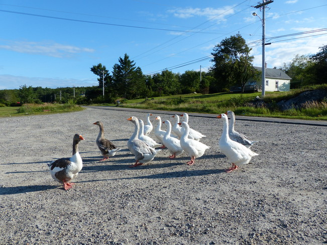 Gaggle of geese 557-607 Shore Road, Shelburne, NS B0T 1W0, Canada