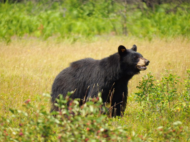 Mother Bear Algonquin Provincial Park, Nipissing District, ON