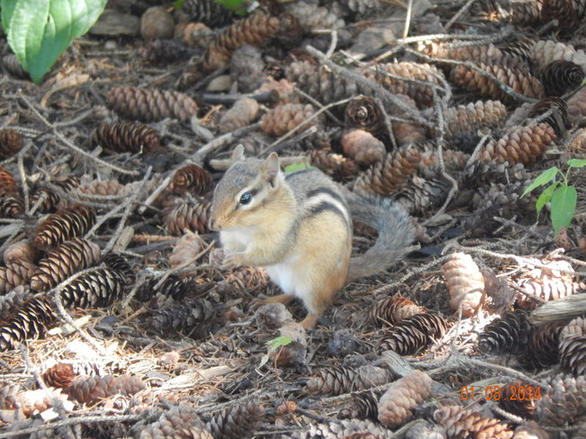little chipmunk Maltais, NB