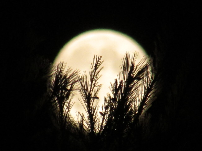 The Supermoon held by pines Saint-Lazare, QC