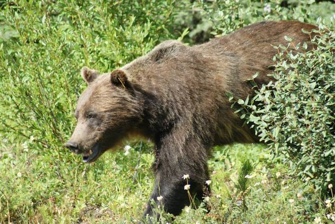 Oh just a Grizzly! Kootenay National Park, East Kootenay G, BC