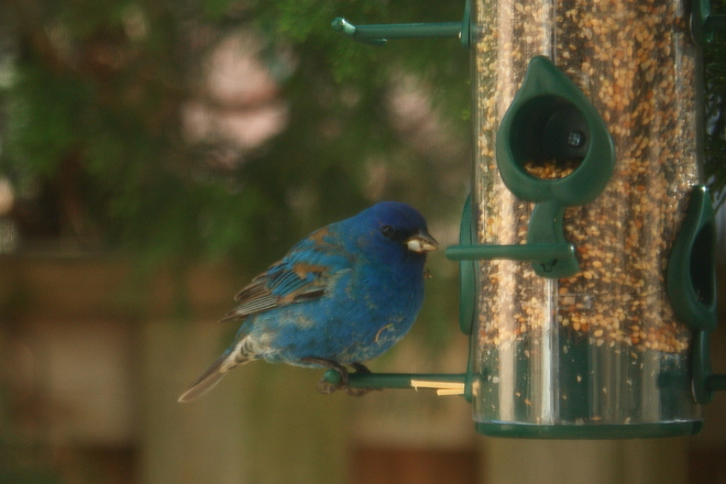 Indigo Bunting? Mississauga, ON