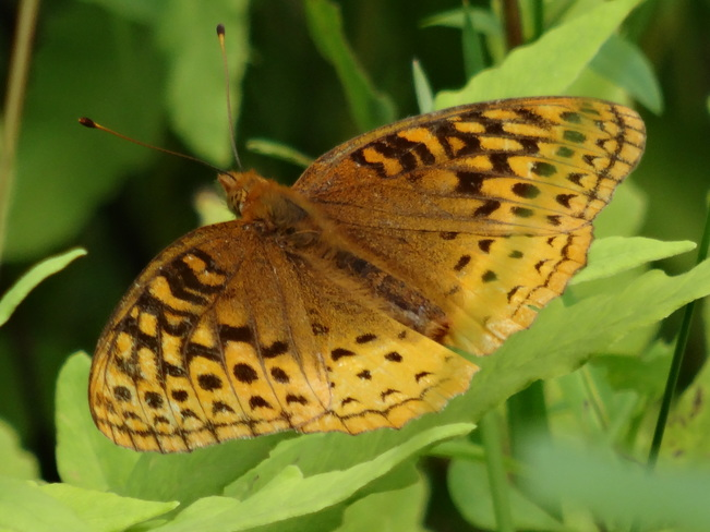 Great Spangled Fritillary Butterfly... Cambridge, ON