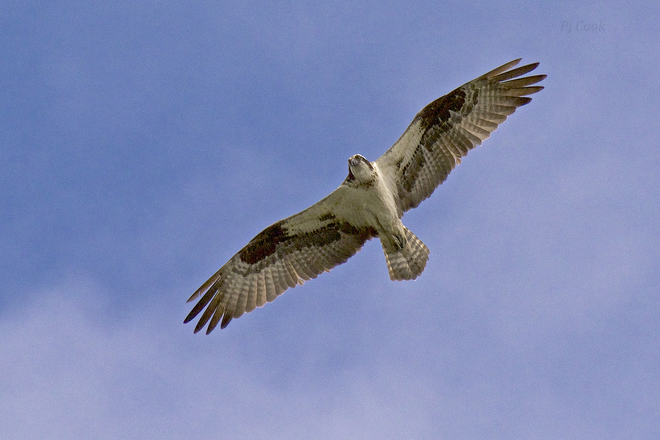 High flying Osprey... Pickering, ON