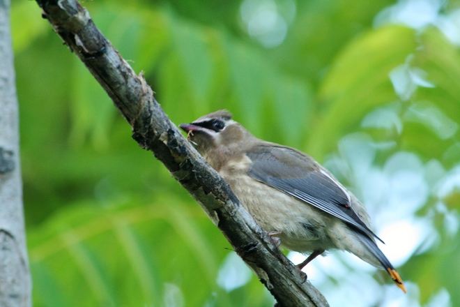 Young Waxwings.... Scarborough, Toronto, ON