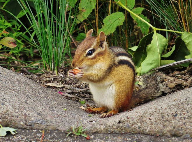 Nut thief takes a break for nuts. 463 Lakeshore Drive, North Bay, ON P1A 2E2, Canada