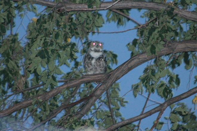 Owl in a Tree Bassano, AB