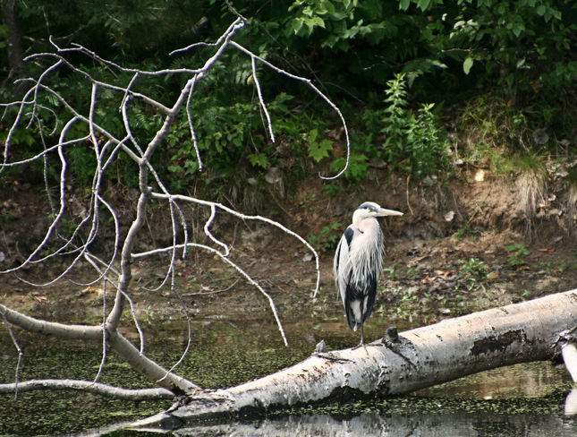 Great Blue Heron Ontario