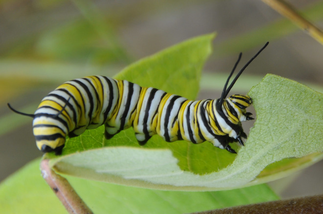 Monarch caterpillar Bolsover, Kawartha Lakes, ON