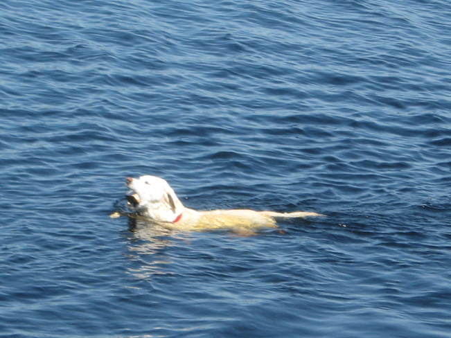 Dog Swimming In Mawn Lake Thunder Bay, ON