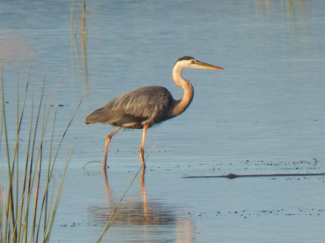 The Great Blue Heron Atholville, NB