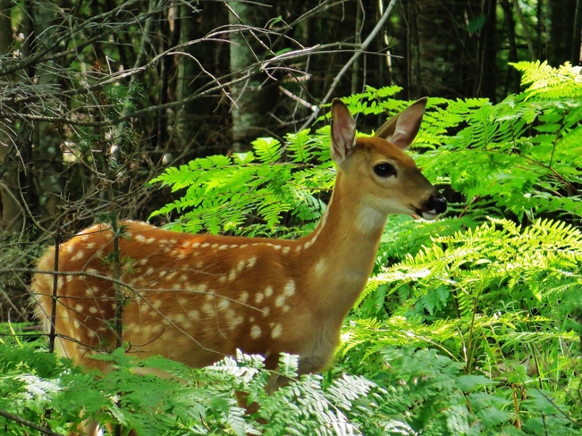 Concerned Doe with cute Fawn. Kate Pace Way, North Bay, ON P1B 8Z4, Canada