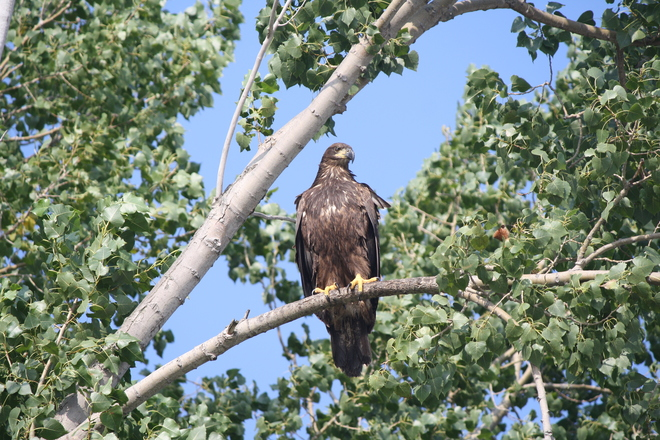 golden.eagle at long.point Long Point Provincial Park, Port Rowan, ON