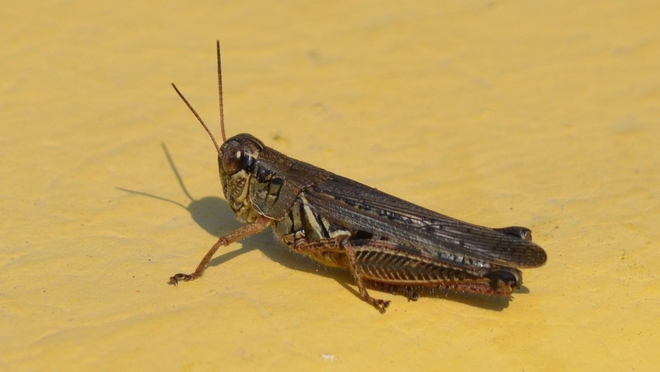 Grasshopper! St. Catharines, ON