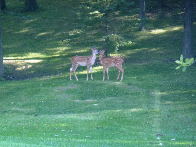 Visitors in the back yard. Vittoria, Ontario