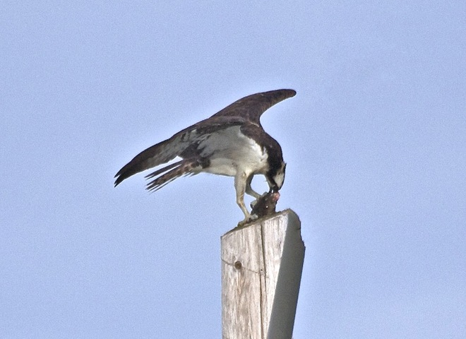 Osprey family in morning routine London, Ontario