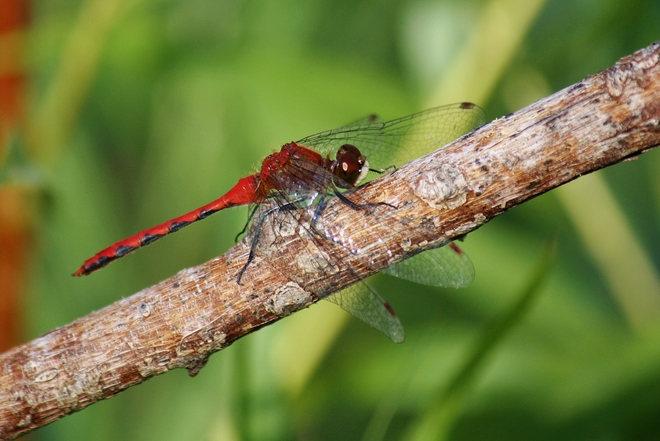 2 different Red Dragon Flies Scarborough, Toronto, ON