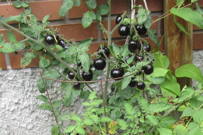 Black tomatoes are ripening! Kenora, Ontario