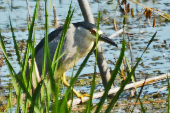 Black-Crowned Night Heron Whitby, ON