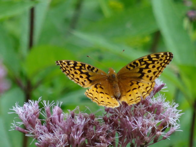 Great Spangled Fritillary Butterfly Cambridge, ON