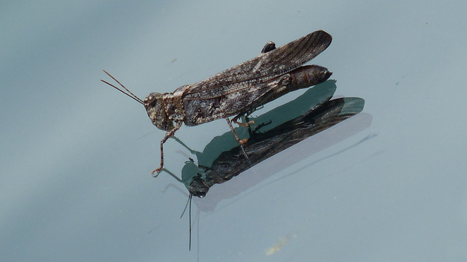 Grasshopper on a windshield.a glasshopper Grand Forks, BC