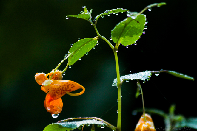 Impatiens Capensis- Aka - Spotted Jewelweed or Touch-me- Not Kingston, ON