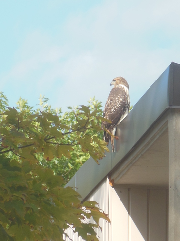A visit from a bird of prey Guelph, ON