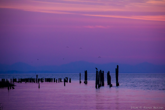 Blue Heron and Gulls in a Purple Haze Ladner, Delta, BC