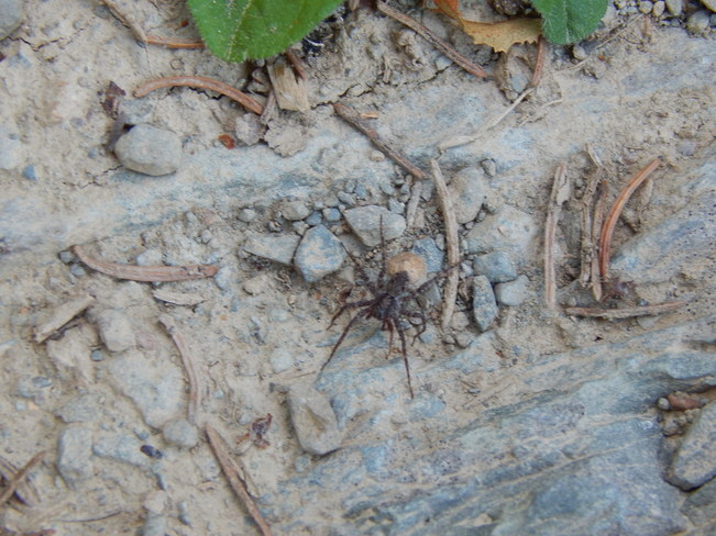 The fishing spider Maltais, NB