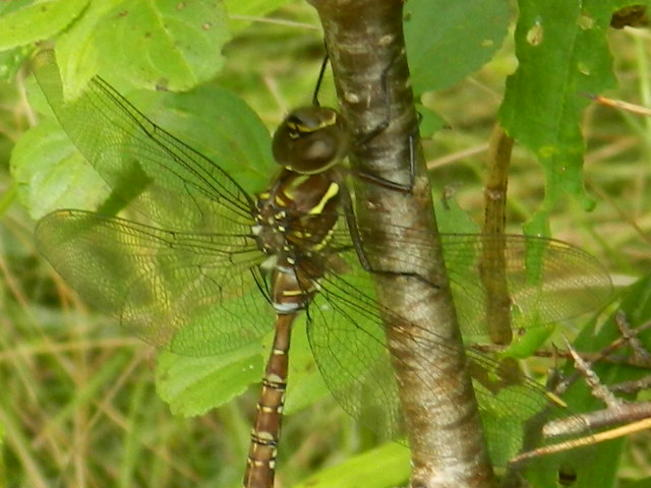 Canada Darner North York, Toronto, ON