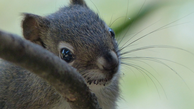 This years baby squirrel Grand Forks, BC