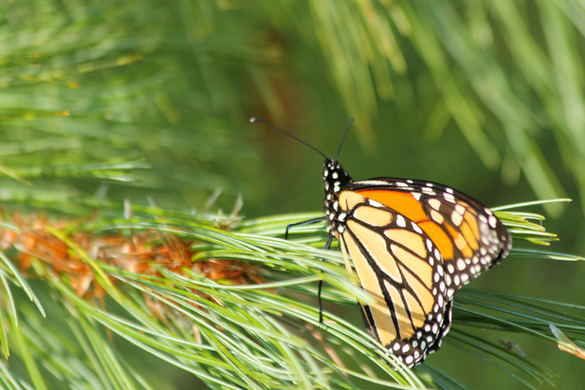 Monarch Butterfly resting on a pine bough Kingston, ON