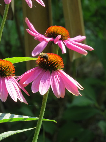 Bee on Cone Flower Kingston, Ontario Canada