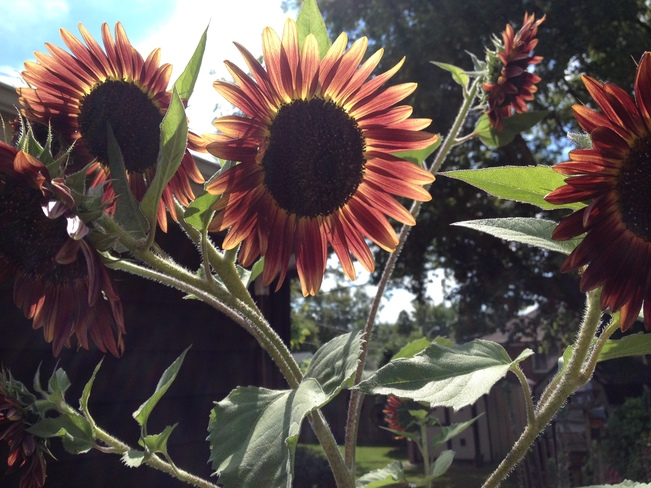 Sunny Sun Flowers London, ON