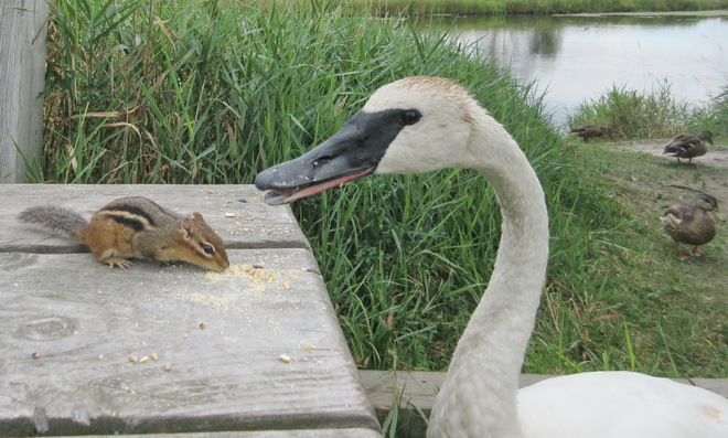 When dining with a Swan your feet must be in mid air Lively, Greater Sudbury, ON
