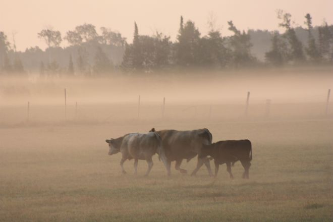 Cows in Fog Temiskaming Shores, ON